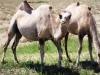 0094-camels