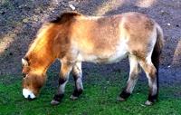 Prezhervalsky Horse
