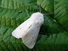 The American White Butterfly
