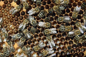 Honeybees on a honeycomb